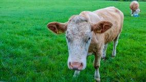 Коровы и икры в поле Стоковые Фото