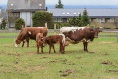 Коровы и икры молока Стоковые Фото