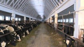 Коровы и икры на скотном дворе сток-видео