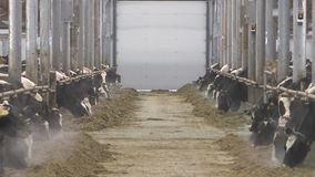 Коровы и икры на ферме поголовья сток-видео
