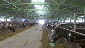 Коровы и икры на ферме поголовья акции видеоматериалы