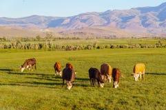 Коровы и икры пася в луге Стоковое Фото