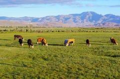 Коровы и икры пася в луге Стоковые Изображения
