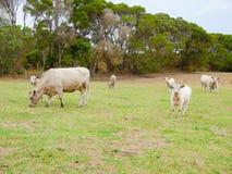Коровы и икры пася Стоковые Изображения
