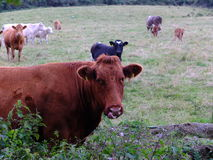 Коровы и икры Стоковые Изображения