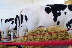 Коровы и козы пася на зеленом поле Стоковые Изображения