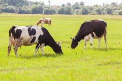Коровы и корова коричневого цвета на зеленой траве Стоковые Фото