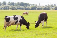 Коровы и корова коричневого цвета на зеленой траве Стоковая Фотография