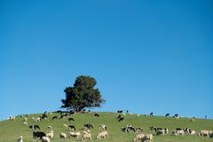Коровы и овцы в зеленом сельском луге, южном острове, Новой Зеландии Стоковые Изображения