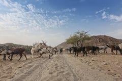 Коровы и одичалый бык пася в отдаленной области Cunene anisette вышесказанного стоковое изображение