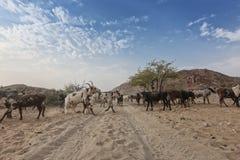 Коровы и одичалый бык пася в отдаленной области Cunene anisette вышесказанного стоковое фото rf