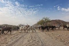 Коровы и одичалый бык пася в отдаленной области Cunene anisette вышесказанного стоковая фотография rf