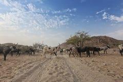 Коровы и одичалый бык пася в отдаленной области Cunene anisette вышесказанного стоковые изображения