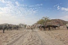 Коровы и одичалый бык пася в отдаленной области Cunene anisette вышесказанного стоковое изображение rf