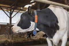 Коровы и сено в амбаре стоковые фото