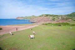 Коровы и туристы рядом с морем Стоковые Изображения RF