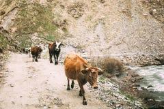 Коровы идя вдоль узкой дороги сельской местности горы в скалистых горах Стоковое Фото