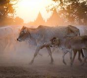 Коровы идя для того чтобы самонавести в Bagan, Мьянме Стоковые Фото