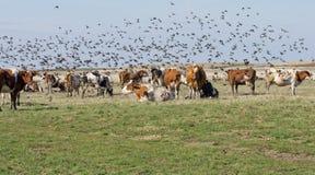 Коровы и starlings Стоковая Фотография RF