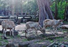 Коровы Камбоджи стоковая фотография