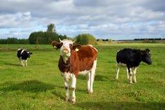 Коровы, 3 коровы на выгоне Стоковые Фото