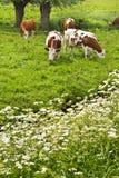 коровы коровы пася вербы Полларда петрушки Стоковые Изображения RF
