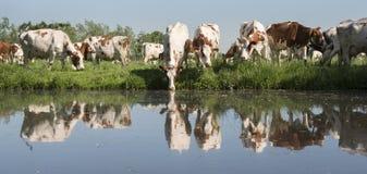 Коровы красного цвета и белизны в зеленом травянистом луге отразили в воде канала на солнечный весенний день в Нидерланд Стоковая Фотография