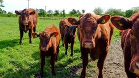 Коровы красного цвета Линкольна Стоковое Изображение