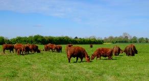 Коровы красного цвета Линкольна Стоковые Изображения