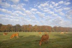 Коровы Лимузина в голландском луге перед лесом осени в теплом morni Стоковые Фото