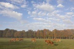 Коровы Лимузина в голландском луге перед лесом осени в теплом morni Стоковая Фотография
