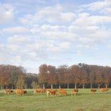 Коровы Лимузина в луге перед лесом осени в теплом lig утра Стоковое Изображение