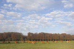 Коровы Лимузина в луге перед лесом осени в теплом lig утра Стоковая Фотография