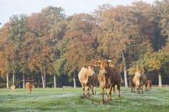 Коровы Лимузина в луге перед лесом осени в тумане утра Стоковое Изображение RF