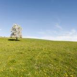 Коровы, луг и цветя деревья в Швейцарии Стоковое Изображение
