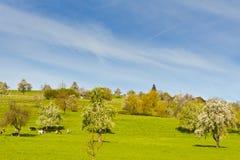 Коровы, луг и цветя деревья в Швейцарии Стоковое Фото