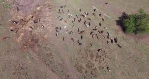 Коровы молокозавода пася на полях фермы видеоматериал