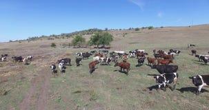 Коровы молокозавода пася на полях фермы сток-видео