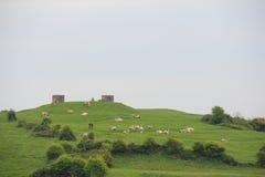 Коровы молока на выгоне Стоковые Изображения