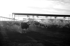Коровы молочной фермы подавая на заходе солнца Стоковая Фотография