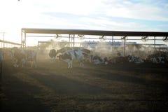 Коровы молочной фермы подавая на заходе солнца Стоковая Фотография RF