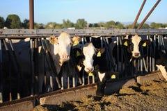 Коровы молочной фермы подавая на заходе солнца Стоковое фото RF
