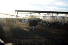 Коровы молочной фермы подавая на заходе солнца Стоковые Изображения RF