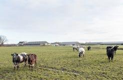 Коровы мяса в луге около большой фермы в Голландии Стоковые Фото