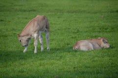 2 коровы младенца Стоковая Фотография