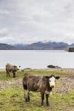 Коровы на береге озера Eishort на острове Skye Стоковые Изображения
