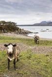 Коровы на береге озера Eishort на острове Skye Стоковые Фото