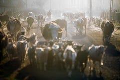 Коровы на восходе солнца Стоковое Изображение RF