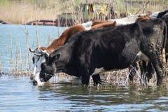 2 коровы на водопое окруженном тростниками, при шлюпка песка драгируя работая на заднем плане Стоковые Фото