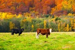 2 коровы на выгоне в ландшафте осени Стоковые Фотографии RF
